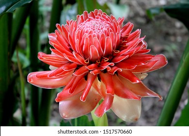 Red Torch Ginger (Etlingera elatior) bud flower, also known as Philippine wax flower, combrang, porcelain rose, Indonesian tall ginger found in a jungle in Pai, Thailand