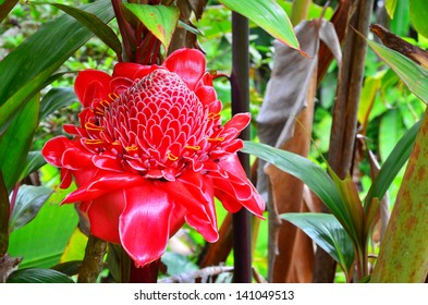 A red Torch Ginger in the jungle of the Big Island of Hawaii.