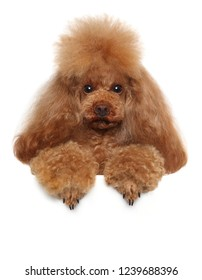 Red Toy Poodle above banner isolated on a white background