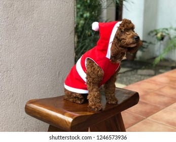 A red toy poodle dressed up as a santa is sitting on the wooden chair