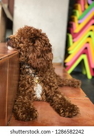A red toy poodle is enjoy sitting in the floor