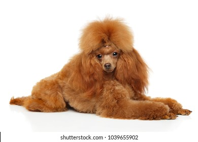 Red Toy Poodle graceful lying on a white background. Animal theme