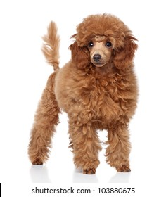 Red Toy Poodle puppy (five months) on a white background