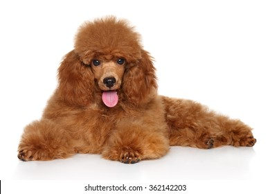 Red Toy Poodle puppy lying down on white floor