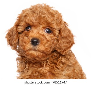 Red Toy Poodle puppy over white background. Close-up portrait