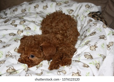 A red toy poodle puppy resting on a patterned blanket