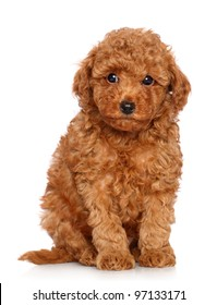 Red Toy Poodle puppy sits on a white background