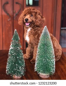A red toy poodle is sitting in behind two mini christmas trees while looking at me