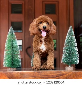 A red toy poodle is sitting in between mini christmas trees while sticking his tongue out
