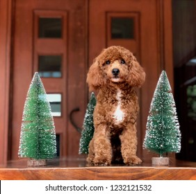 A red toy poodle is sitting in between mini christmas trees while looking serious