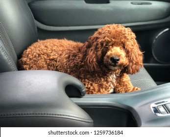 A red toy poodle is sitting in the car and looking at the driver