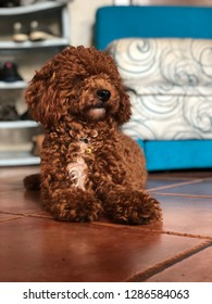 A red toy poodle is sitting on the floor, his name is Jaxx