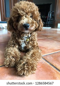 A red toy poodle is sitting on the floor and looking at me, his name is Jaxx