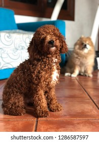 A red toy poodle is sitting on the floor while the pomeranian dog is looking at him from behind