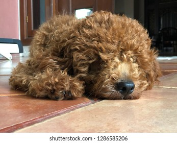 A red toy poodle is sleeping on the floor, his name is Jaxx