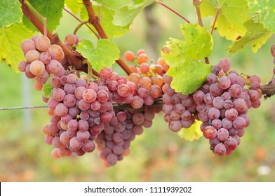 Red Traminer Gewurztraminer grapes