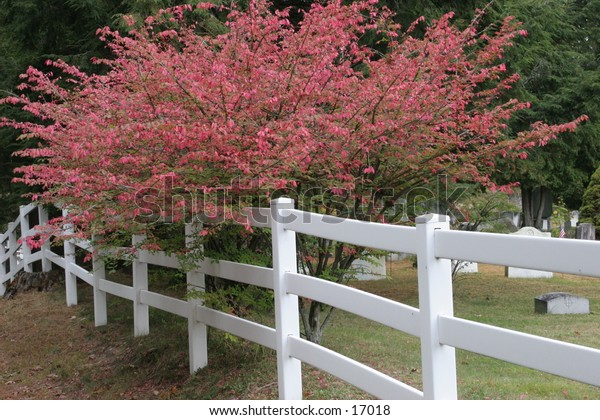A red tree next to a white picket fence