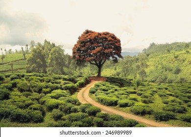Red tree on tea plantation near Nuwara Elyia