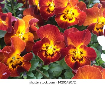 Red tricolor pansy flowers  - viola blossom - viola tricolor