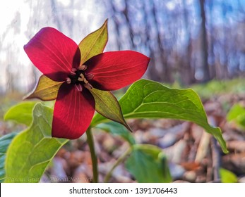 A red trillium in the forest of Nuns' Island in Montreal, Quebec, Canada.