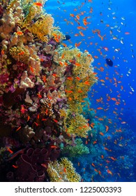 Red tropical fish (anthias) on the rich healthy coral reef. Colorful underwater seascape with corals and fish. Snorkeling on the paradise reef. Wildlife in the blue water.