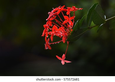 Red tropical fresh flowers (Ixora)