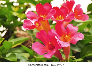 Trumpet vine images stock photos vectors shutterstock red trumpet vine flowers in the rain mightylinksfo