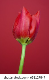 Red tulip with red background. Represents spring and summer seasons.