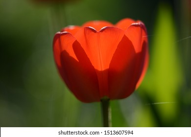 Red tulip with backlighting on a dark background. Soft focus, bokeh and sunlight