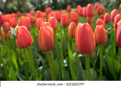 Red tulip buds in a garden in Lisse, Netherlands, Europe on a bright summer day
