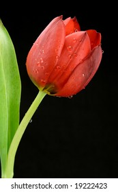 red tulip dew black green flower colorful