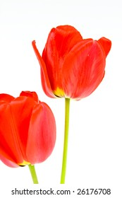 Red tulip with drops of dew on a white background