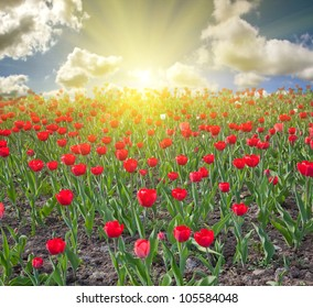 red tulip field under blue sky with clouds