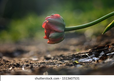 Red tulip in a field with visible depth of field and backlighting. Parted from others, close to the ground. Soft focus, bokeh and sunlight