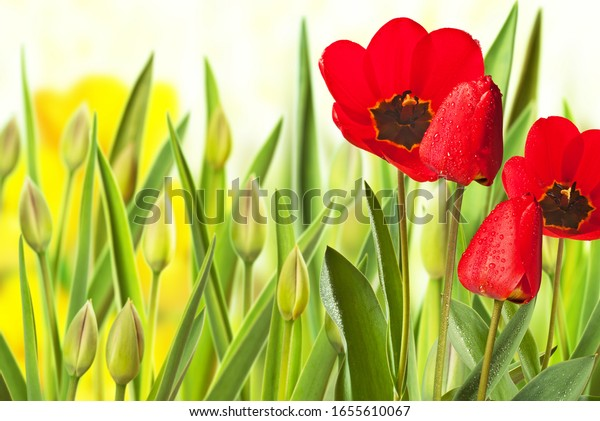 Red tulip in the flower bed