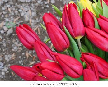 Red tulip flower bouquet closeup