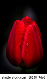 Red tulip flower bud on black. Red bud tulip. Red bud on black background. Red bud tulip flower