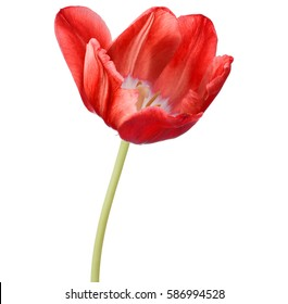 red tulip flower head isolated on white background.
