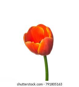 Red tulip flower on white background