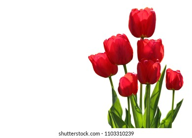 Red tulip flower plants isolated on white background