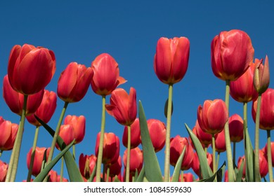 Red Tulip Flowers Blue Sky Photographed Low Point View