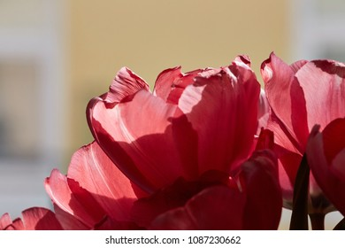 red tulip flowers in detail