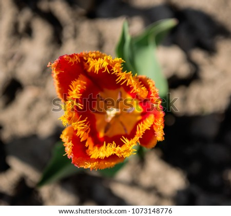 Red Tulip Flowers Yellow Tips Natural Stock Photo Edit Now