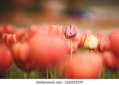 red tulip in focus in tulip field