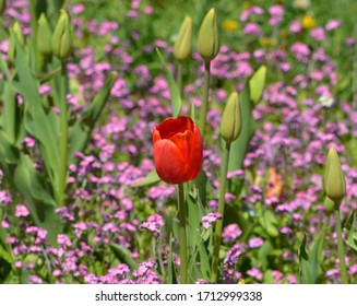 a red tulip in the garden surrounded by small pink flowers