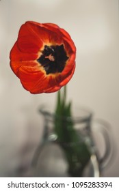 Red tulip in a glass vase on a white background