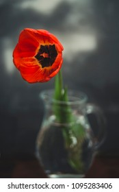Red tulip in a glass vase on a black background