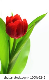 Red tulip isolate on white background
