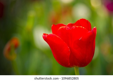 Red tulip isolated