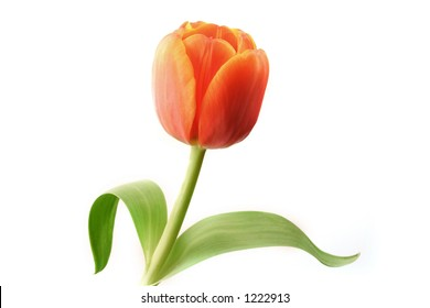 A red tulip, isolated on white.